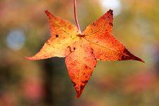 Free Beautiful Fall Leaf Royalty Free Stock Image - 22322556