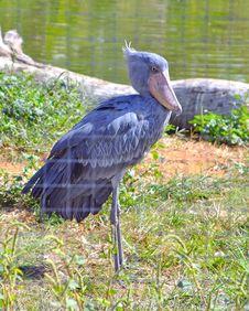 Free Shoebill Stork Bird Stock Photography - 22323272
