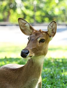 Free Deer In The Open Zoo Stock Photography - 22324042