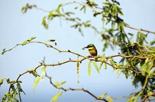 Free Little Bee-eater And His Pray Royalty Free Stock Images - 22326969