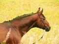 Free Portrait Of Amazing Bay Horse Stock Image - 22334751