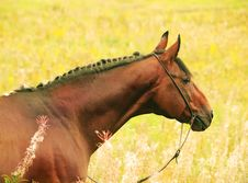 Free Portrait Of Amazing Bay Horse Stock Image - 22334751