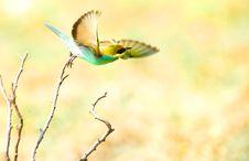 Free European Bee-eater (Merops Apiaster) Stock Photo - 22335490