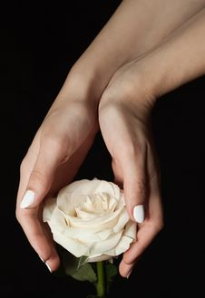 Free White Rose And Hands Royalty Free Stock Images - 22343759