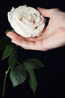 Free White Rose And Hand Stock Photo - 22343770