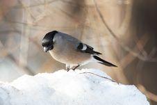 Free Bullfinch On Snowdrift Royalty Free Stock Photography - 22344567