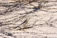 Free Lizard In White Sand NP Royalty Free Stock Photos - 22347828