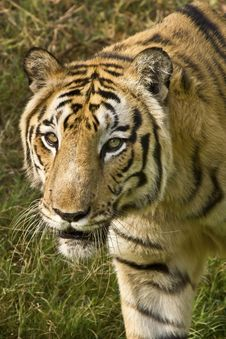 Free Royal Bengal Tiger Stock Photo - 22348090