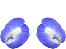 Free Butterfly Pea Flower Royalty Free Stock Photo - 22349455