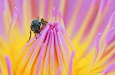 Free Bee On The Top Of Lotus Stock Image - 22353871