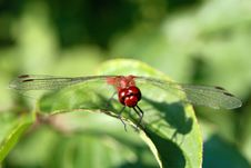 Free Red Dragonfly Stock Photography - 22356832
