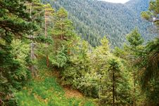 Free Alpine Forest Royalty Free Stock Photos - 22358548