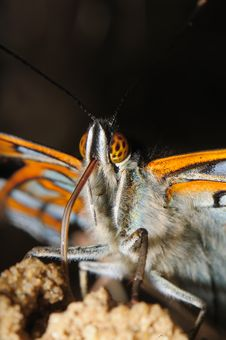 Free Portrait Butterfly Royalty Free Stock Photography - 22365197
