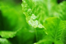 Free Salad Leaves In Dew Drops Royalty Free Stock Image - 22366976