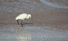 Free White Egret In Sea Water Royalty Free Stock Photos - 22371108