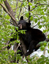 Free American Black Bear Stock Photo - 22382430
