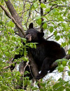 Free American Black Bear Stock Photo - 22382430