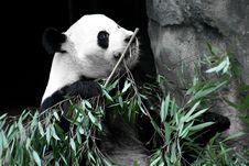 Free Panda Royalty Free Stock Photography - 22383927