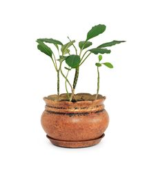Green Plant In Flowerpot Royalty Free Stock Images