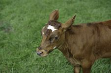 Free Heifer Project Royalty Free Stock Photos - 22391108