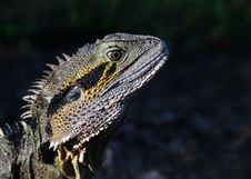 Free Eastern Water Dragon Stock Images - 22393154