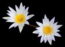 White Lotus Second. Stock Photos
