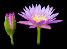 Free Beautiful Purple Lotus. Stock Photos - 22396303