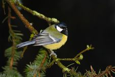 Free Tomtit At Black Background Royalty Free Stock Photography - 22398317