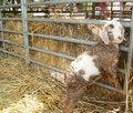 Free Cute Baby Lamb Stock Image - 2240631