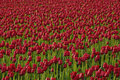 Free Endless Red Tulips Stock Photos - 2244033