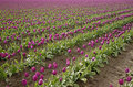 Free Purple Tulips Stock Photos - 2245103