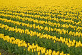 Free Yellow Tulips Royalty Free Stock Photo - 2245335