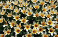 Free Tulip Pattern Royalty Free Stock Photos - 2247478