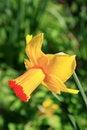 Free Narcissus (Jetfire) Stock Photography - 2247782