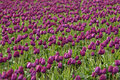 Free Purple Tulip Field Royalty Free Stock Photography - 2249297