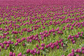 Free Endless Purple Tulips Royalty Free Stock Images - 2249329