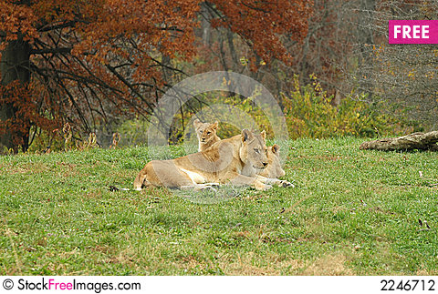 Free African Lion Family Stock Photography - 2246712