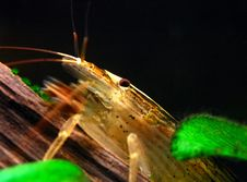 Freshwater Shrimp Stock Image