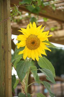 Free Yellow Sunflower Royalty Free Stock Photo - 2241045