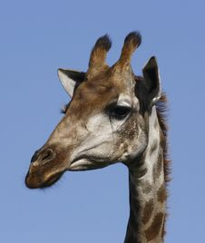 Giraffe Looking Down Royalty Free Stock Photography