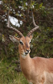 Free Impala Chewing Royalty Free Stock Photography - 2242747