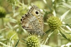 Free Butterfly On Thistle Royalty Free Stock Images - 2243349