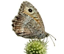 Free Butterfly On Thistle Stock Photo - 2243350