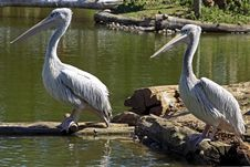 Free Two Pelicans In Nature Royalty Free Stock Photography - 2243377