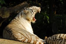 Free Siberian Tiger Stock Photos - 2243623
