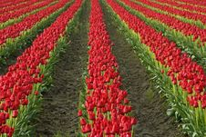 Free In The Tulips Royalty Free Stock Photography - 2243907
