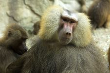 Free Lonely Baboons Royalty Free Stock Image - 2244036