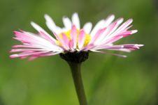 Free Daisy In Garden Royalty Free Stock Photo - 2244405