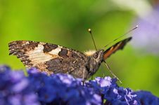 Aglais Urticae Stock Photo