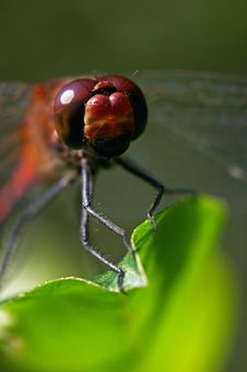 Free Dragonfly Royalty Free Stock Images - 2244419